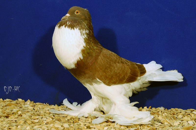 Fancy pigeon wallpaper