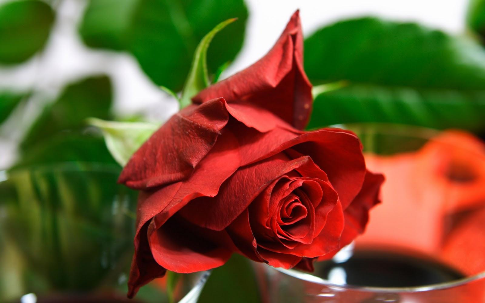 Wonderful Wallpaper Name Yash - rose-flower-wallpaper-free_2560x1600_83190  Gallery_111957.jpg
